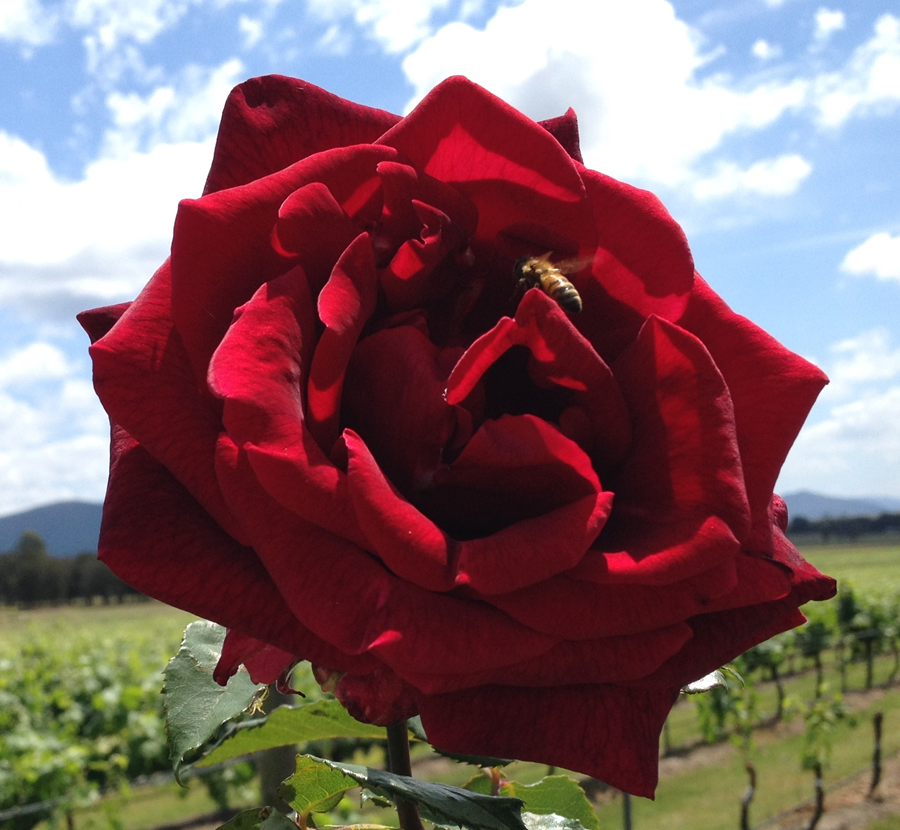 Rose at end of vineyard row